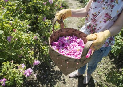 Woman picking color of oilseed roses